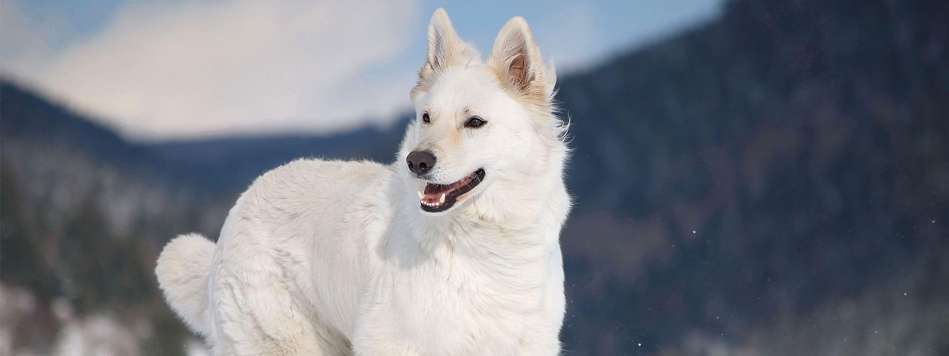 pastore bianco svizzero