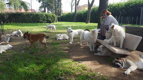 Branco pastori svizzeri bianchi
